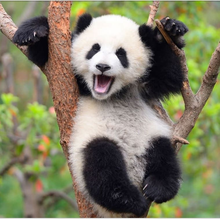 What Is The Size Of A Baby Panda The Petri Dish